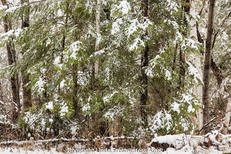 Snow-covered trees in Wisconsin