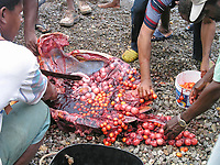 villagers, harvesting eggs and meat from a drowned hawksbill sea turtle, Eretmochelys imbricata, under observation by Fisheries Division, Soufriere, St Mark, Commonwealth of Dominica, Dominica, Caribbean Sea, Atlantic Ocean