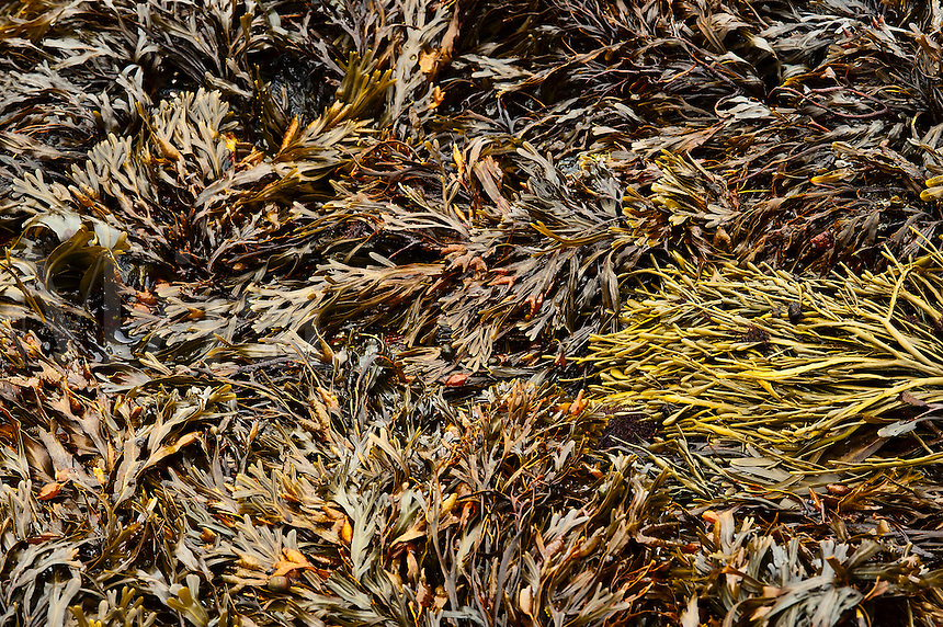 Seaweed at low tide, Maine, USA