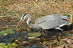 Great Blue Heron w-Fish