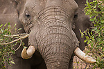 African Elephant (Loxodonta africana) bull browsing, Kruger National Park, South Africa