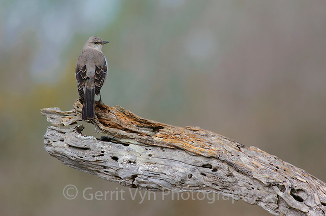Adult Northern Mockingbird (Mimus polyglottos). Hidalgo County, Texas. March.