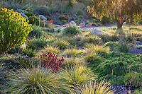 Lomandra longifolia 'Breeze' in drought tolerant meadow garden with Anigozanthos 'Bush Ranger', Schaff garden