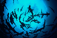 Silhouetted pack of Whitetip Reef Sharks, Triaenodon obesus, following scent trail in water column, Cocos Island, Costa Rica, Pacific Ocean