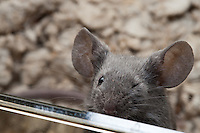 A gray male mouse winks at the camera, closing his left eye.