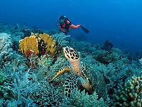 Diver Keiko, hawksbill turtle, Philippines, Tubbataha Reef, Eretmochelys imbricata