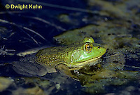 FR03-034b  Bullfrog - adult in pond - Lithobates catesbeiana, formerly Rana catesbeiana