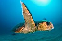A male Loggerhead Sea Turtle (Caretta caretta) swims next to the Breakers Reef in Palm Beach, FL.