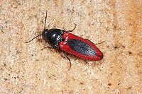 Blutroter Schnellkäfer, Ampedus sanguinolentus, Click beetle, Schnellkäfer, Elateridae, Click beetles