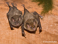 0715-1108  Seba's Short-tailed Bat, Roosting in Building in Belize, Carollia perspicillata  © David Kuhn/Dwight Kuhn Photography
