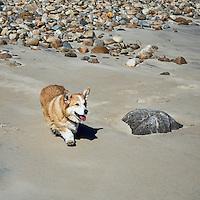 Happy  Pembroke Welsh corgi walking on the beach.