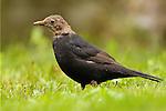 Eurasian Blackbird (Turdus merula) sub-adult male, London, England, United Kingdom
