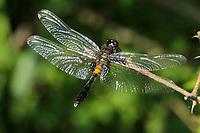 Zierliche Moosjungfer, juveniles, junges Männchen, Leucorrhinia caudalis, lilypad whiteface, male, la Leucorrhine à large queue