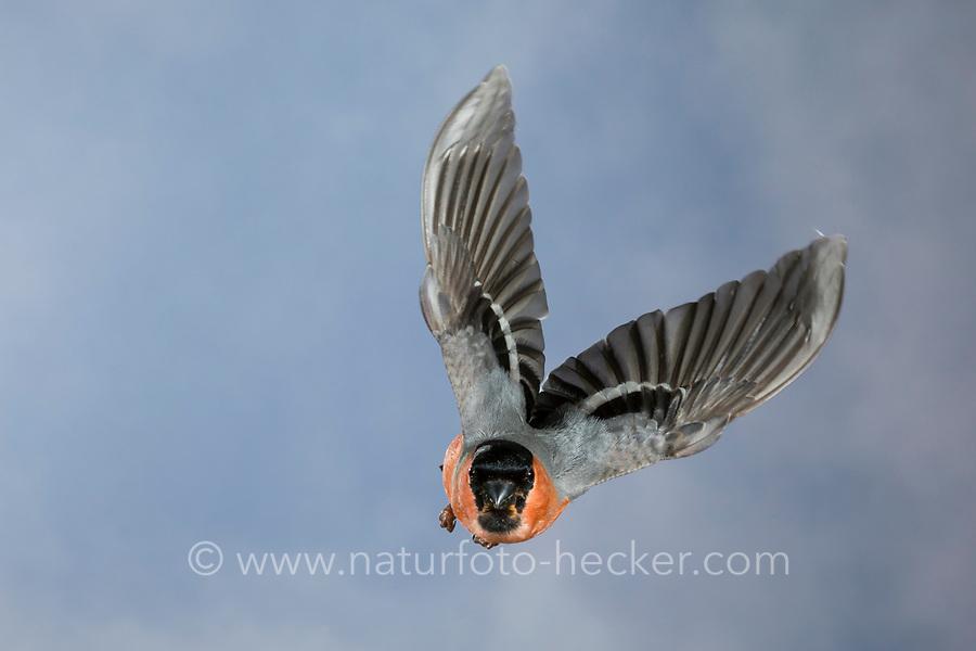Gimpel, Dompfaff, Männchen, Flug, Flugbild, fliegend, Pyrrhula pyrrhula, Eurasian bullfinch, bullfinch, male, flight, flying, Bouvreuil pivoine