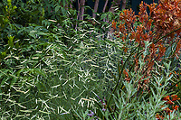 Bouteloua gracilis 'Blonde Ambition' Blue Grama Grass in drought tolerant mixed border with Kangaroo Paw, Anigozanthos 'Orange Cross' in Gamble Garden, Palo Alto, California
