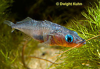 1S31-507z  Male Threespine Stickleback, Mating colors showing bright red belly and blue eyes, carrying nest material in his mouth, Gasterosteus aculeatus,  Hotel Lake British Columbia..