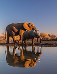 African bush elephant (Loxodonta africana) and calf, Central District, Botswana<br /> <br /> Canon EOS 5D Mark IV, EF24-70mm f/4L IS USM lens, f/5.6 for 1/320 second, ISO 800