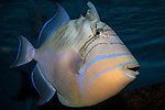 Queen Triggerfish swimming right full body view