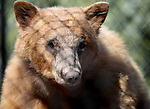 Gibbs, a 2-year-old black bear, at Animal Ark Wildlife Sanctuary, north of Reno, Nev., on Monday, May 1, 2017. <br /> Photo by Cathleen Allison/Nevada Photo Source