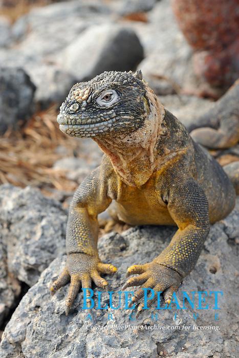 Galapagos land iguana, lizard, scientific name Conolophus subcristatus, on South Plaza Island, Galapagos archipelago, Ecuador, east Pacific Ocean