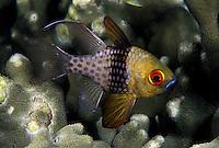 Pajama cardinal fish, Sphaeramia nematoptera, Micronesia.