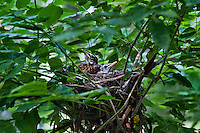 Robin chicks in nest.