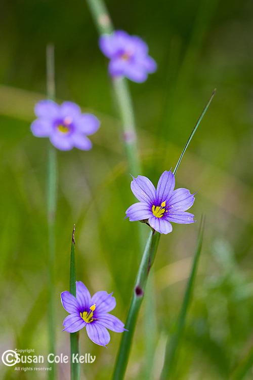 Common Blue-eyed Grass(Sisyrinchium albidum) in Lamoine, Maine, USA