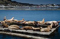 Steller Sea Lions (Eumetopias jubatus), Kodiak Island, Alaska, US