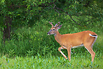 Young white-tailed buck stomping his foot in a northern Wisconsin meadow.