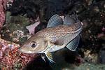 Atlantic Cod juvenile swimming 45 degrees to camera
