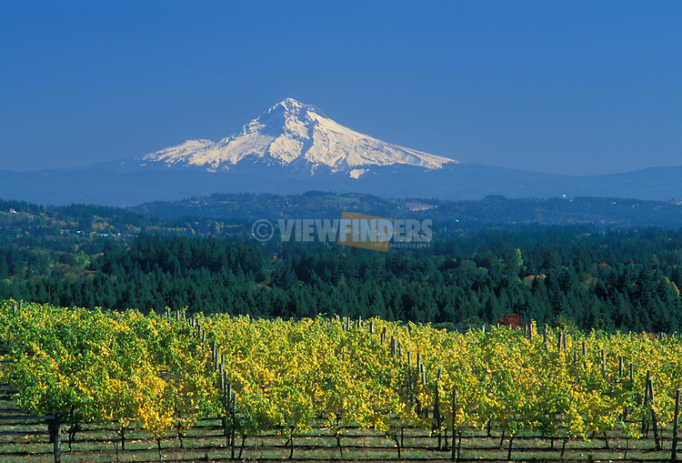 Mount Hood with grape vines at Beran Vineyards in the Chehalem Hills overlooking Tualatin Valley, Oregon. .#2330-0149