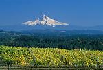 Mount Hood with grape vines at Beran Vineyards in the Chehalem Hills overlooking Tualatin Valley, Oregon. .#2330-0149