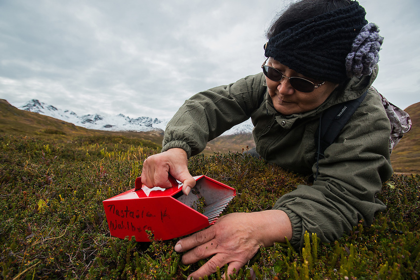 """Natasia Wahlberg demonstrates how berries should be picked carefully with a rake to avoid harming the plant. Wahlberg, a Yupik orginally from Bethel, was picking late-ripening """"blackberries,"""" known more widely as crowberries, near the top of Hatcher Pass to make eskimo icecream. The road over the pass is closed to vehicle traffic for winter starting Sept. 14 this year."""