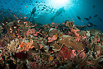 Diver looks on at sponges, soft corals and crinoids in a colourful Komodo seascape,  Komodo National Park