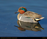 Green-Winged Teal, Male, Drake, Newport Back Bay, Southern California
