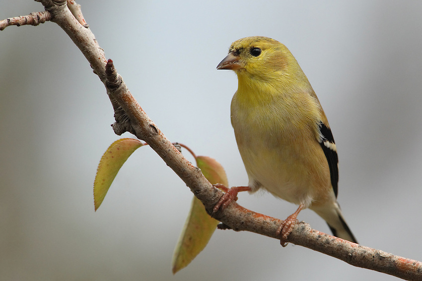 American Goldfinch in January, with two complimentary pear tree leaves.