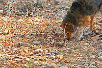 A truffle dog sniffing the ground at La Truffe de Ventoux truffle farm, Vaucluse, Rhone, Provence, France