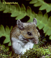 MU13-008z  White-Footed Mouse - cleaning chin with paws - Peromyscus leucopus