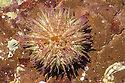 Green Sea Urchin {Psammechinus miliaris} found in rockpool. Devon, UK. June.