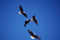 Bald eagles (Haliaeetus leucocephalus) compete in flight.