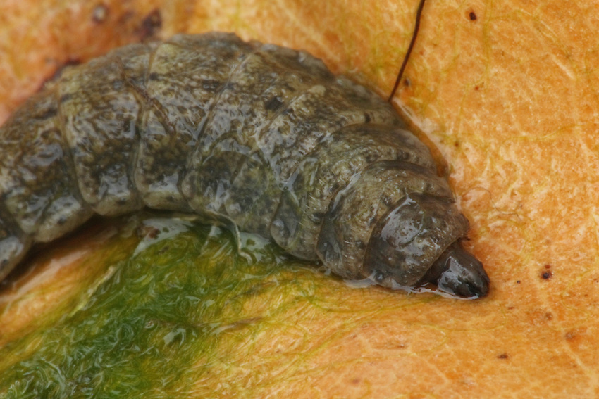 """This is from the """"Wacky & Weird"""" file :)<br /> I observed this small snail-like insect in our pond. As it goes along, it moves its mouth parts in a constant flapping motion, taking in algae & other nutrients."""