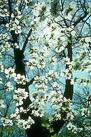 Dogwood tree, conus florida, blossoms, flowers, blooms,  on a spring day.