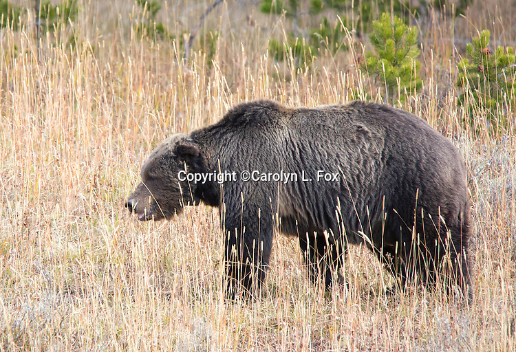 This is Scarface, one of the oldest grizzly bears in Yellowstone National Park.