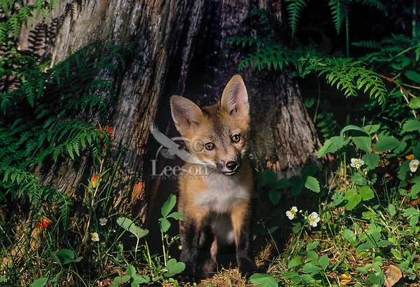 Red fox pup (Vulpes vulpes) coming out of den which is under old stump.  Western U.S., June.  Wild strawberry and paintbrush wildflowers.