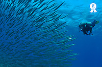 Diver looking at juveniles barracuda schooling near surface, Red Sea, Egypt (Licence this image exclusively with Getty: http://www.gettyimages.com/detail/82406610 )