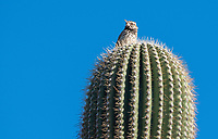 Cactus Wren, Campylorhynchus brunneicapillus, perches on a Saguaro cactus, Carnegiea gigantea, in Papago Park, part of the Phoenix Mountains Preserve near Phoenix, Arizona