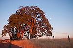 Roadside oaks in the setting summer sun, Amador Co.