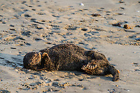 Southern Sea Otter (Enhydra lutris nereis) sleeping on sandy beach.  California.