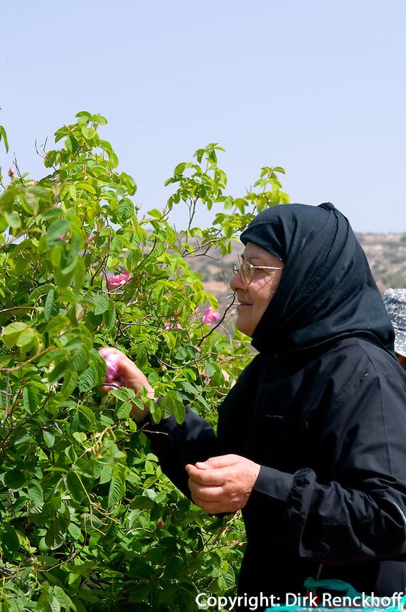 Zypern (Süd), Nonne von Agios Minas pflückt Rosenblätter für Rosenwasser