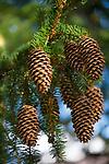 Oesterreich, Kaernten, Moelltal: Fichte (Picea), Fichtenzapfen | Austria, Carinthia, Valley Moelltal: spruce (Picea), cones